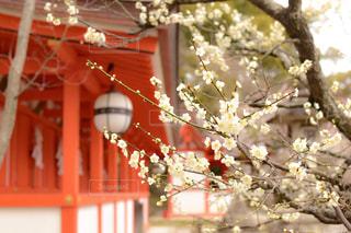 北野天満宮の梅の写真・画像素材[1249774]