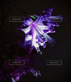 紫の花の写真・画像素材[1396276]