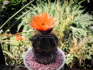 サボテンの花の写真・画像素材[1396277]