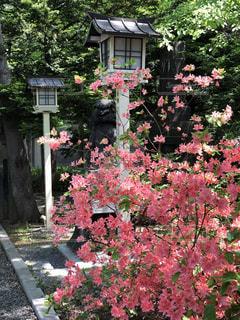 神社とツツジの花の写真・画像素材[1249971]