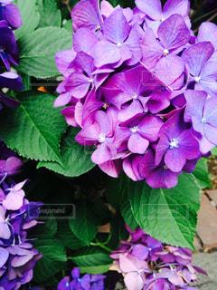 紫陽花の写真・画像素材[1252031]