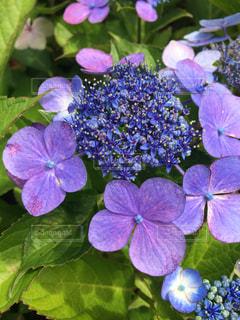 紫陽花の写真・画像素材[1252502]