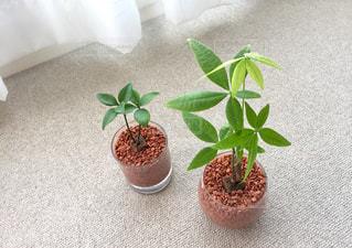 水耕栽培 ミニ観葉植物の写真・画像素材[1251294]