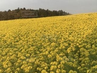 一面の菜の花の写真・画像素材[1250880]