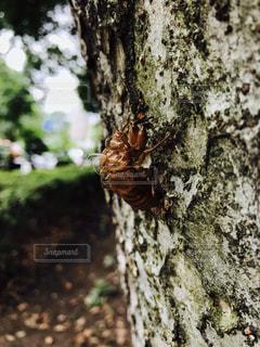 蝉の脱け殻の写真・画像素材[1293029]
