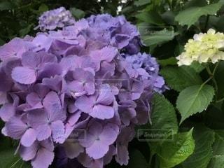 紫陽花の写真・画像素材[1251272]