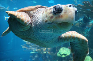 海亀の写真・画像素材[1251874]