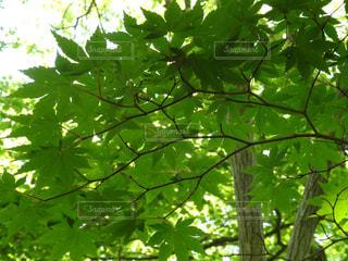 新緑の癒しの写真・画像素材[1260575]
