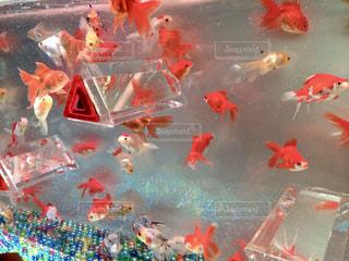 金魚とビー玉の写真・画像素材[1252306]