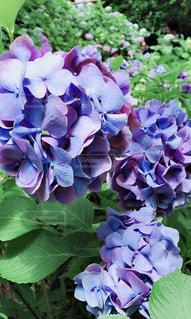 紫陽花が満開の写真・画像素材[1254148]