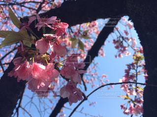木の枝に花の写真・画像素材[1252042]