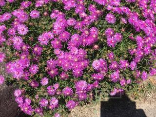 大きな紫色の花は、庭の写真・画像素材[1264577]
