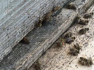 花粉を運ぶニホンミツバチの写真・画像素材[3703363]
