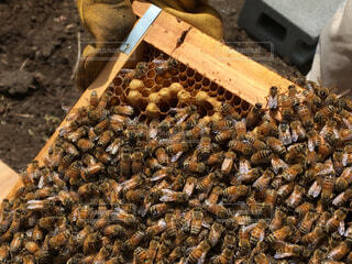 セイヨウミツバチの巣枠の写真・画像素材[4343971]