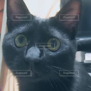 黒猫のアップの写真・画像素材[1253395]