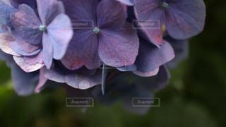 紫陽花の写真・画像素材[1253491]