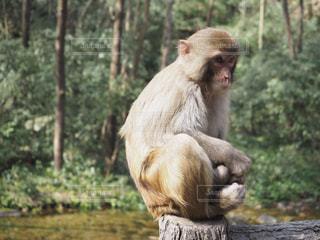 森の前に座っている猿の写真・画像素材[1255940]