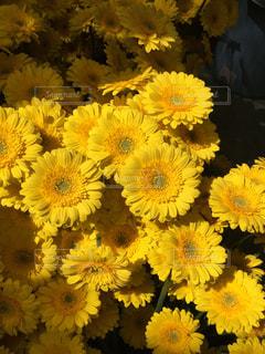 黄色の花の束の写真・画像素材[1268677]