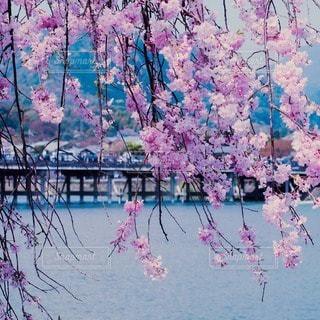 嵐山の桜の写真・画像素材[64622]
