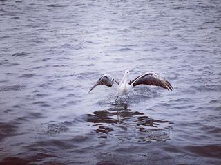 水の上を滑っている鳥の写真・画像素材[712210]