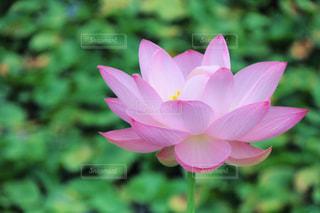 蓮の花の写真・画像素材[1392846]