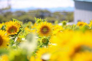 ひまわり畑の写真・画像素材[1393554]