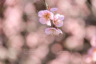 梅の花の写真・画像素材[1869671]