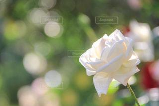 白バラと玉ボケの写真・画像素材[2144781]