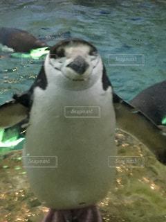 水にいるペンギンの写真・画像素材[1256163]
