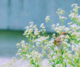 すずめのかくれんぼ花の戯れの写真・画像素材[1257489]