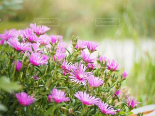 松葉菊の写真・画像素材[1260130]