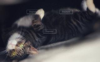 ベッドの上で横になっている、黒灰色と白猫の写真・画像素材[1265376]