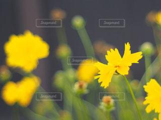 黄色の花の写真・画像素材[1273136]