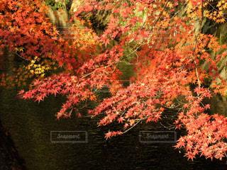哲学の道、疎水沿いの紅葉の写真・画像素材[1459334]