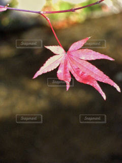 哲学の道の楓の紅葉の写真・画像素材[1459335]