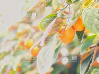 陽光の柿の写真・画像素材[1653212]