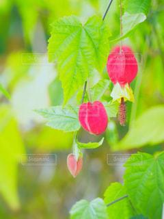 チロリアンランプ(ウキツリボク)の写真・画像素材[1653213]