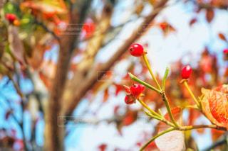花水木の果実の写真・画像素材[1657114]