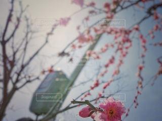 梅の記憶の写真・画像素材[1836518]