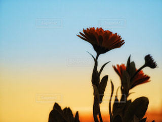 朝焼けにカレンデュラの写真・画像素材[1841866]