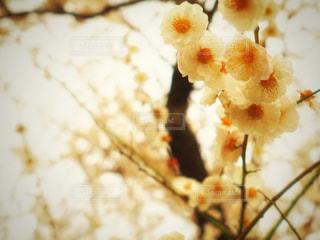 白梅の記憶の写真・画像素材[1846569]