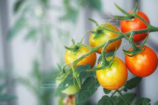 プチトマトの写真・画像素材[2109546]