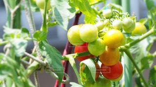 プチトマトの写真・画像素材[2109547]