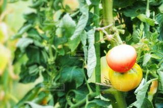 トマトの写真・画像素材[2109549]