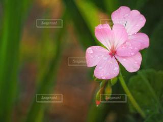 植物のピンクの花の写真・画像素材[2216245]