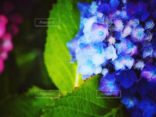 紫陽花の表情の写真・画像素材[2216249]