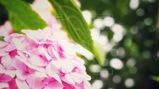 紫陽花と光の写真・画像素材[2265070]