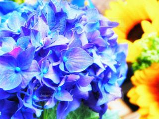 紫陽花と向日葵の写真・画像素材[2271867]