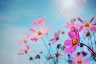 夏咲き秋桜の写真・画像素材[3030497]