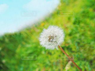 綿毛たんぽぽの写真・画像素材[3076332]